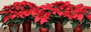 poinsettias_top